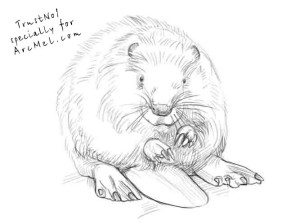 how to draw a beaver step 4