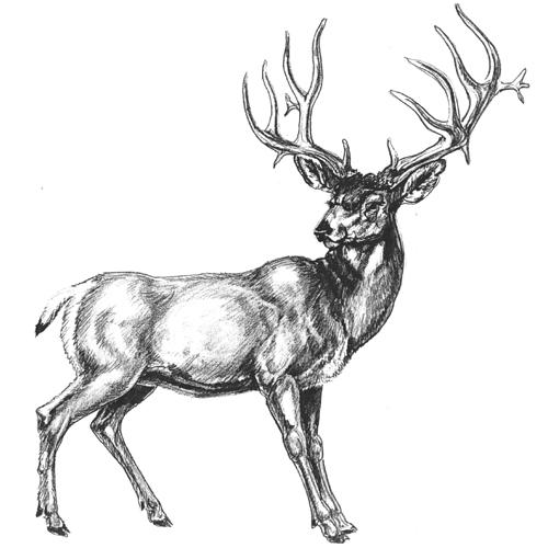 Deer Drawing How to Draw a Deer Step by