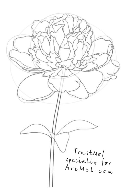 Peony Flower Line Drawing : How to draw a peony step by arcmel