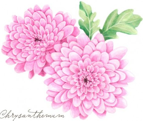 How to draw chrysanthemums step by step