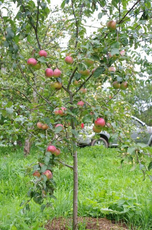 How to draw an apple tree step by step | ARCMEL.COM