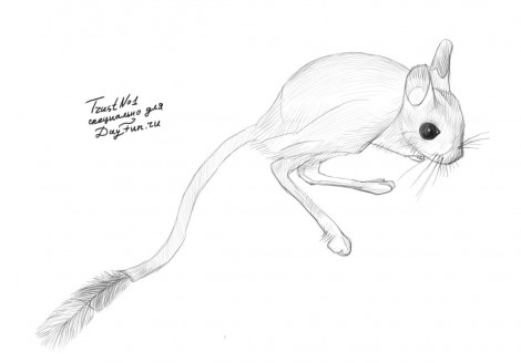 how to draw a jerboa step by step 4