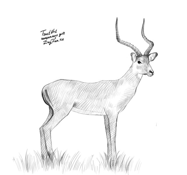 how to draw a kudu step by step
