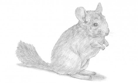 How to Draw a Chinchilla.mp4_20151006_212709.897